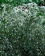 Gypsophila Elegans - Covent Garden